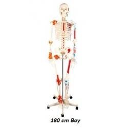 İnsan İskeleti Renkli 180 cm